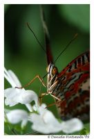 Butterfly II by TVD-Photography