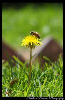 FLOR Y ABEJA BEE AND FLOWER by adrihanparamo