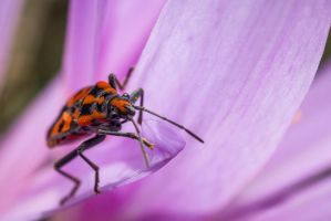 Lygaeus Eequestris 2 by JoeGP