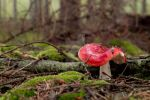 Russula emetica poisonous mushroom in forest by rejmann