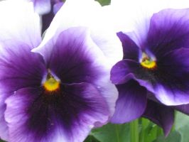 2 pansies by crazygardener