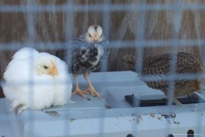 (2010.06) Our Chickens as Babies by gingerbreadcottage