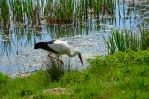 Storch vom Elsass ...Cigogne d'Alsace by Eagles57