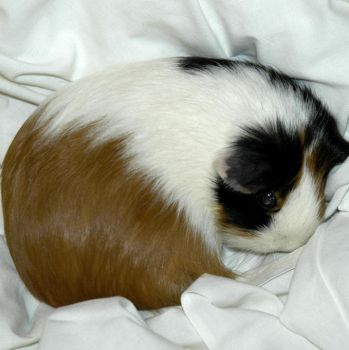 My Guinea Pig by jjrcyber2006