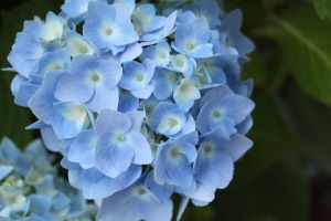 Hydrangeas From Mar's Garden by Maeve09