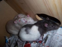 rats at morning by RatteMacchiato
