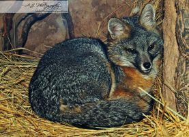 Grey Fox - Springs Preserve by AshleyAJPhotography