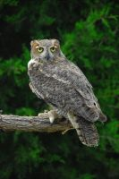Catherine Cross Great Horned Owl Stock by CatherineCross