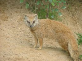 Yellow mongoose by Amethyst--Dragon
