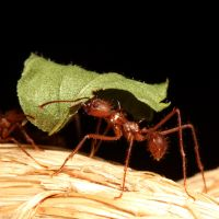 Leaf Cutting Ant 04 by s-kmp