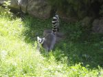 Ringtailed Lemur by Zill-the-Pill