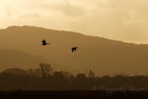 Geese by Gambassi