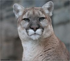 Cougar Photo Shoot 5 by SilkenWinds