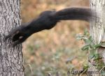 Flying Black Squirel by AlinaKurbiel