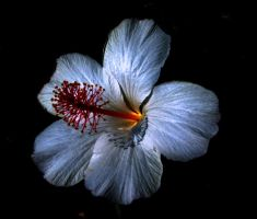 Glowing white hibiscus by welcometoreality