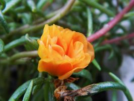 Moss rose in orange by o0oO-araceli-Oo0o