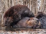 BEAVER PILEUP by lenslady