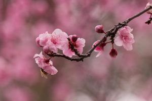 Cherry blossoms by la-mia-storia