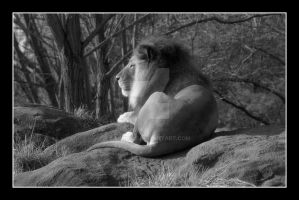 Lion on the Rocks (Black and White) by SKiNBuS