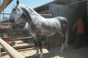 dappled gray horse 3 by xbr0kendevotion