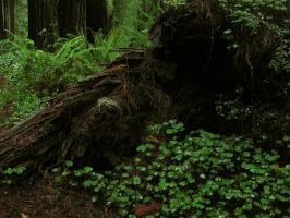 Redwood Forest 6 by Cynnalia-Stock