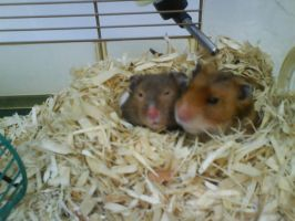 Hamsters by cafca-diana