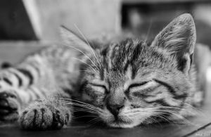 Sleeping cat by Wilku9