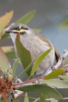 Yellow Faced Honeyeater 3 by RefusedClassific