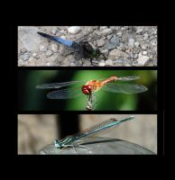 dragonflies by sosisk86