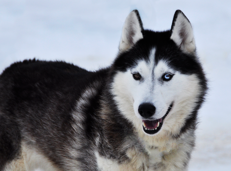 Sled Dogs / Huskies 5 by windfuchs