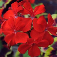 Red Geraniums by clarearies13