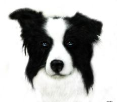 Border Collie 11 by LKE-Kola