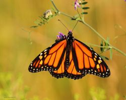 Monarch Butterfly 2011 by natureguy