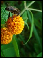 The Bee by Jazbagz