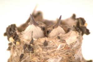 Baby Hummingbirds by musiklily