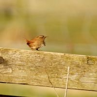 Windswept Jenny Wren by chillipope