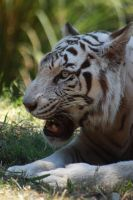 White tiger 4 by AngiWallace