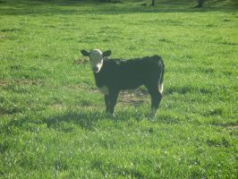 White Faced Calf by Elistariel