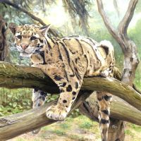 Clouded Leopard by DryJack