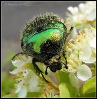 Green Rose Chafer 3 by Vitaloverdose