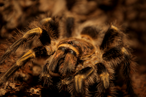 Grammostola by Quiet-bliss
