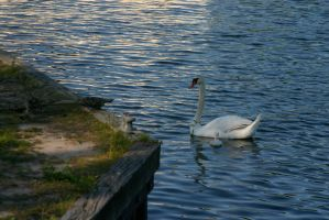 Swan with young by nwalter