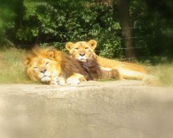 Pair of lions by miss-masami
