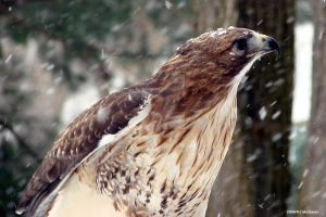Red Tail Hawk in the snow 2 by seto2112
