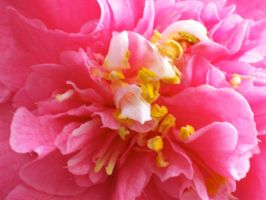 Pink Camellia Up Close by Applemac12