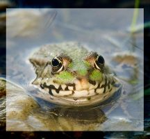 little frog by miezbiez