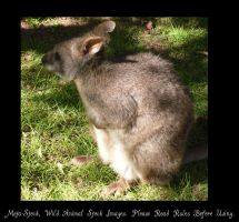 Wallaby Stock Image by Meta-Stock