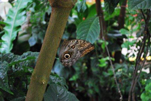 Owl Butterfly by Willow421
