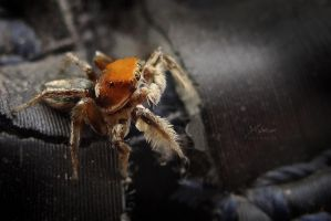 puppy Jumping spider by Payaxo