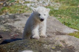 Mini Polar Bear by Fotostyle-Schindler